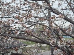 Sakura04042