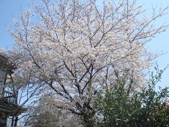 Sakura04101