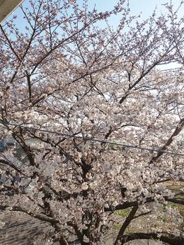 Sakura20120408